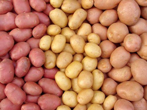 fresh potatoes freshly picked